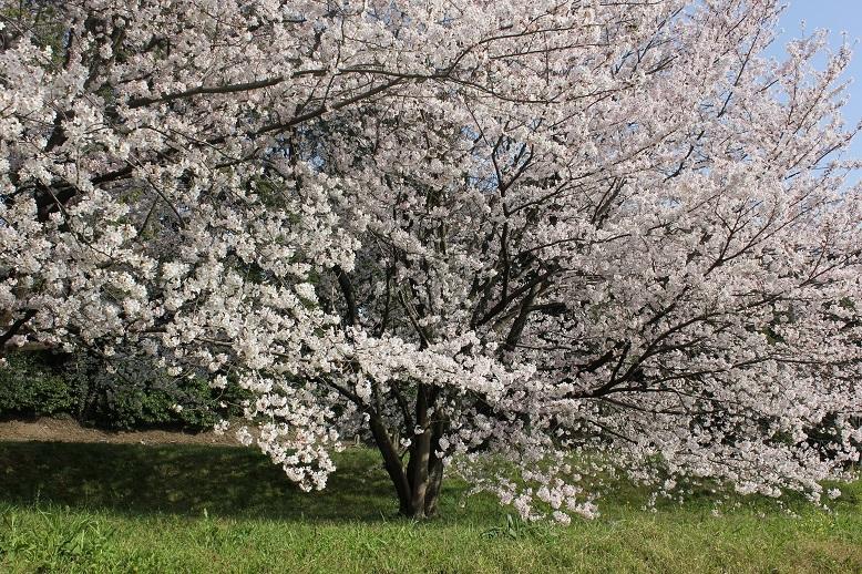2018.4 桜2