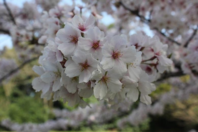 2018.4 桜8