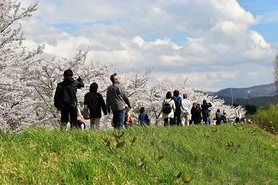 2018-05-04 余市川桜づつみ (27)