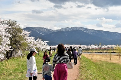 2018-05-04 余市川桜づつみ (2)