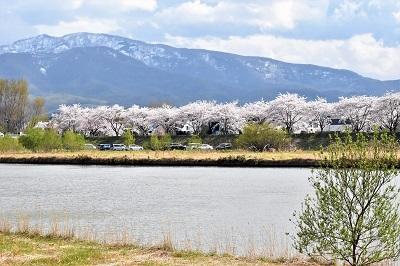 2018-05-04 余市川桜づつみ (16)