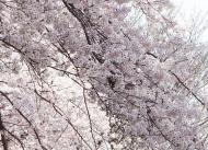 DSC01218滝のような桜