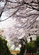 DSC01213川の中から桜を望む