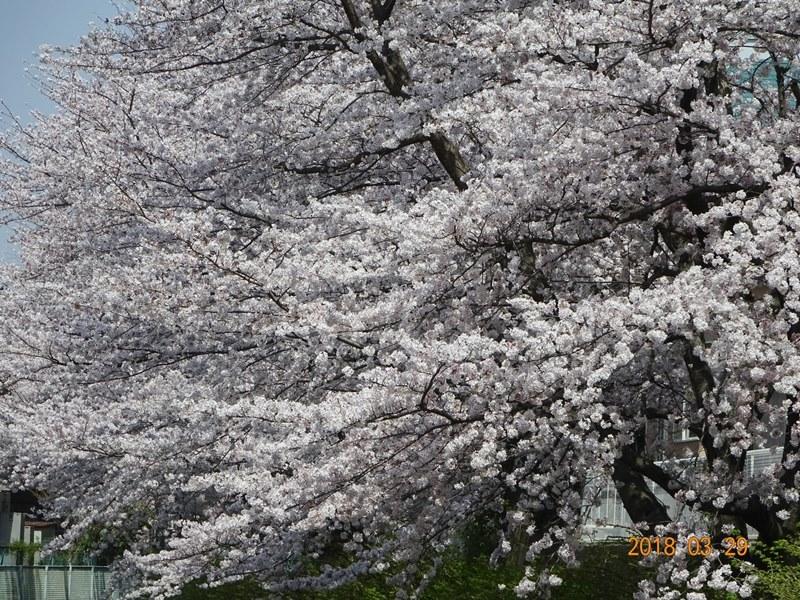 DSC01224雲のような桜
