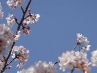 DSC01220青い空と桜