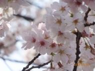 DSC01222可憐な桜