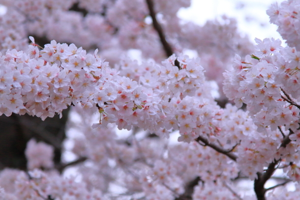 多摩川河川敷サクラ洗足池桜00045111
