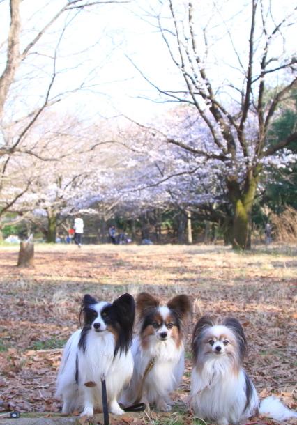 菅生緑地 さくら00044451