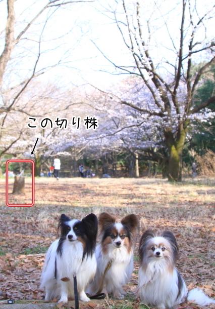 菅生緑地 さくら00044402