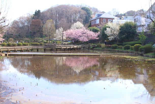 薬師池公園 さくら00044506
