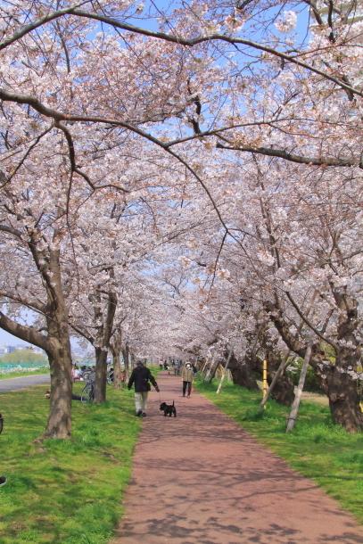 多摩川河川敷サクラ洗足池桜00044957