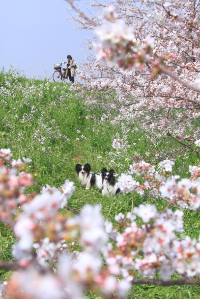 多摩川河川敷サクラ洗足池桜00044921
