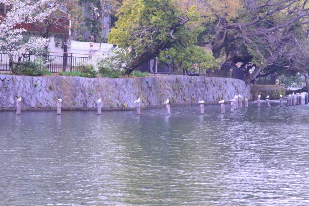 多摩川河川敷サクラ洗足池桜00045082