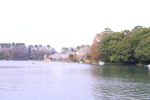 多摩川河川敷サクラ洗足池桜00045083