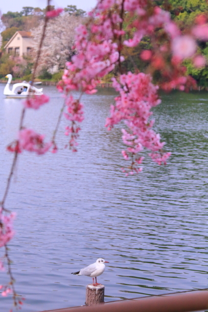 多摩川河川敷サクラ洗足池桜00045088
