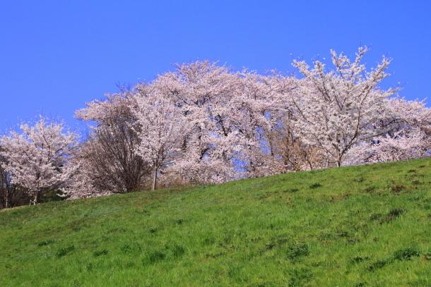 エルの桜201800045139