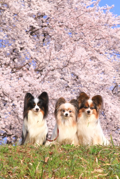 エルの桜201800045143