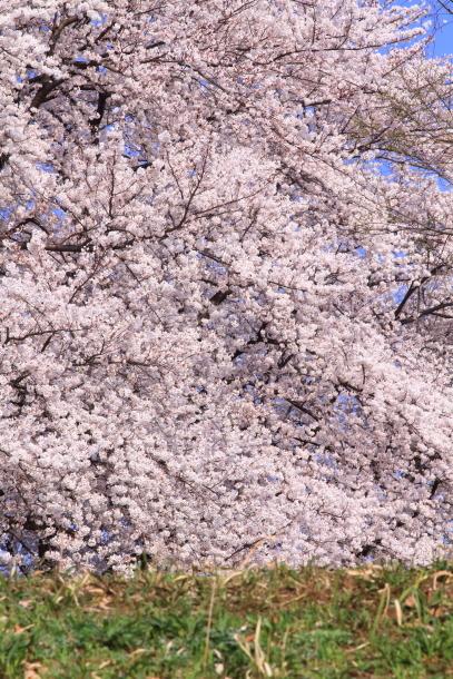 エルの桜201800045142