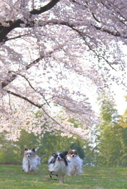 エルの桜201800045163