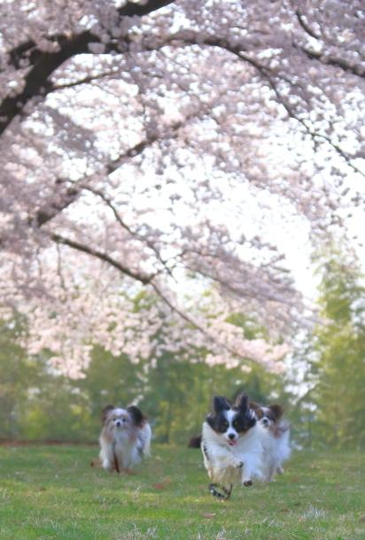 エルの桜201800045164