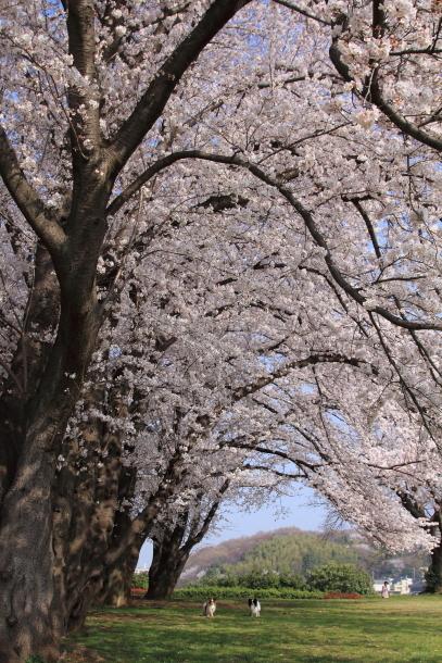 エルの桜201800045217