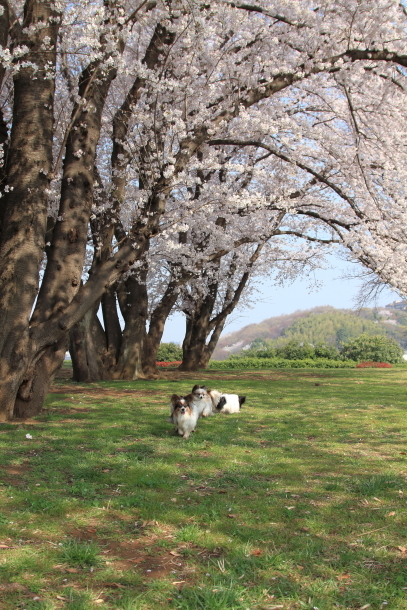 エルの桜201800045235