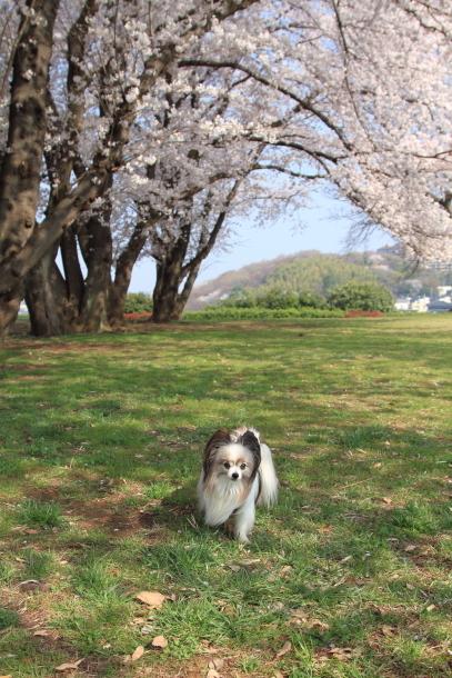 エルの桜201800045242