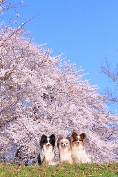 エルの桜201800045145