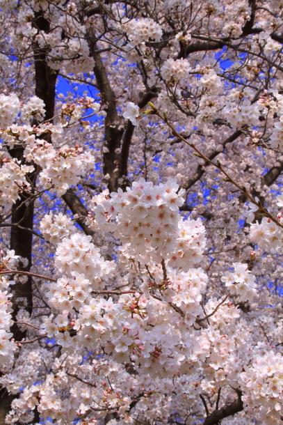 エルの桜201800045149