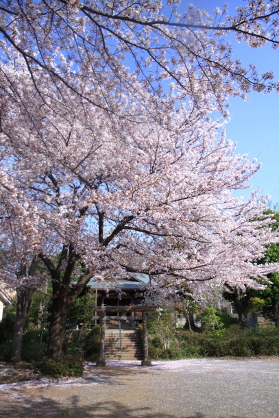 近所の桜とイースター00046566