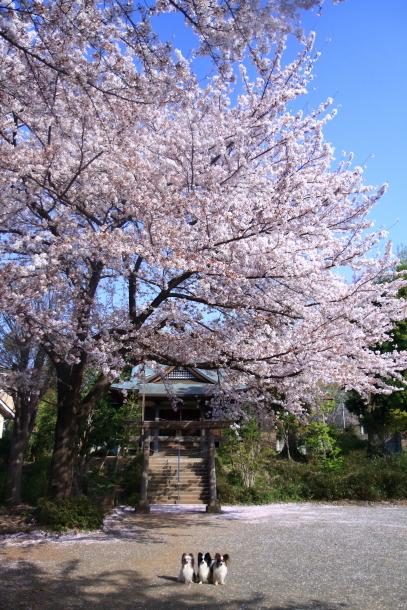 近所の桜とイースター00046568
