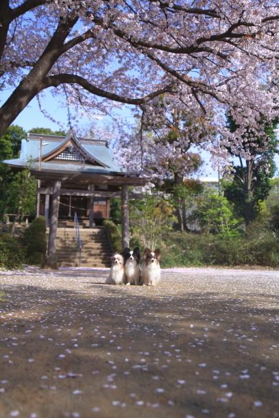近所の桜とイースター00046587