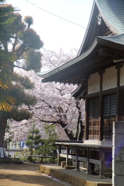近所の桜とイースター00046577