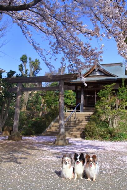 近所の桜とイースター00046603