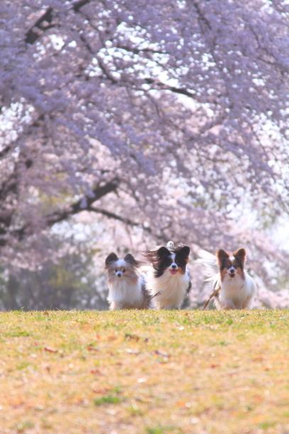 エルの桜201800045271