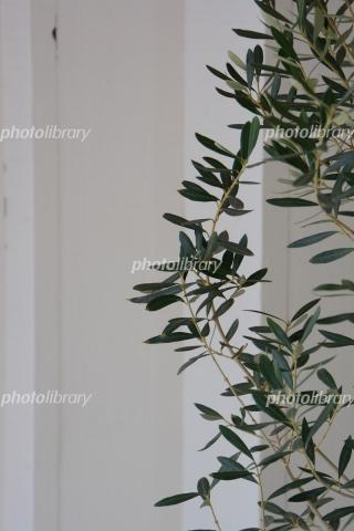 5453211 オリーブの木