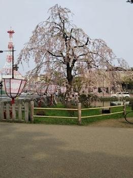 5/1 弘前公園 東門入り口付近の枝垂れ桜