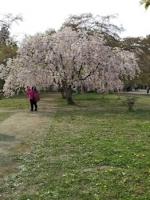 5/1 弘前公園の桜