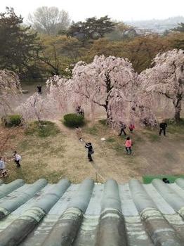 5/1 弘前城から見た桜