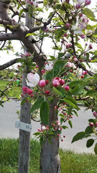 5/2  王林の木 つぼみ  りんご公園  弘前市