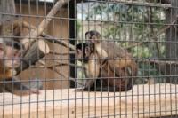 3/24 フサオマキザル  野毛山動物園