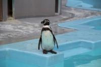 3/24 フンボルトペンギン  野毛山動物園