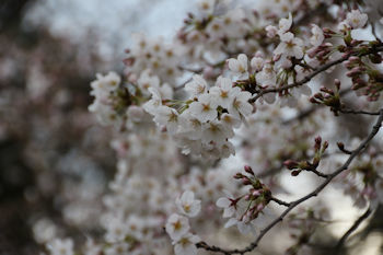 3/24 野毛山公園展望広場の桜