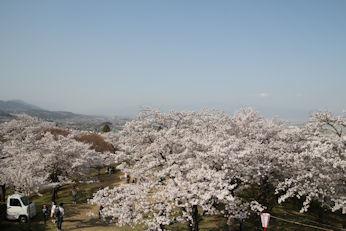 3/31   大法師桜まつり 大法師公園