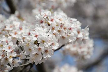 3/31  満開の桜  大法師桜まつり