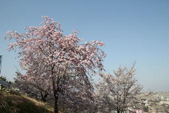 3/31   大法師公園からの帰り道の枝垂れ桜