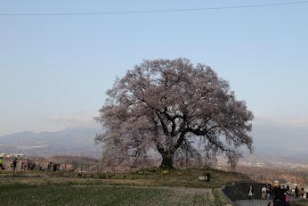 3/31 わに塚の桜  韮崎市