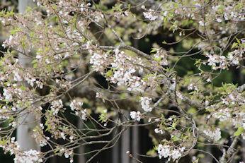 4/7 近寄るとまだ残っている花  淡墨桜