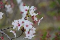 4/7 犬山城への川沿いの桜