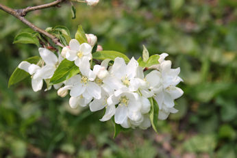 5/2  りんごの花  りんご公園  弘前市